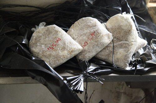 oyster mushroom training (20)